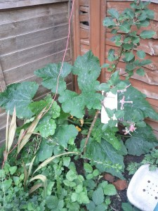 Courgette attacking the baby apple tree
